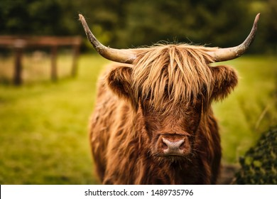 Scottish Highland Cow in field looking at the camera, Ireland, Hairy Scottish Yak