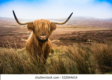 Scottish Highland Cow in field looking at the camera, Scotland