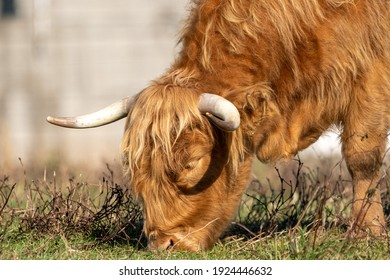 A Scottish Highland Cow grazing in the pasture in the morning sunshine.