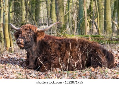 Scottish Highland cow with his big horns ruminating between trees of a forest. Amsterdam, the Netherlands, Europe.