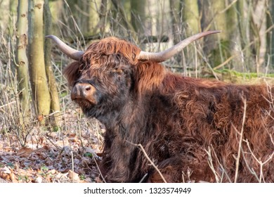 Scottish Highland cow with his big horns lying on the ground of the Amsterdam forest in the evening sun. The Netherlands, Europe.