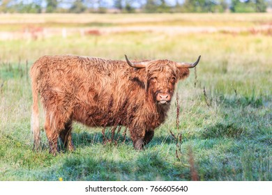 Scottish Highland cow in natural Drents meadow landscape in River Valley along Rolderdiep in close up grazing of natural herbs.
