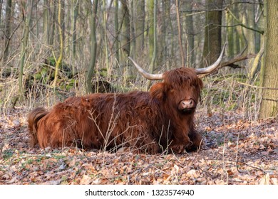 Scottish Highland cow on forest soil. Head three-quarters from the side. Evening sun, big horns, trees and leaves. Amsterdam forest, The Netherlands, Europe.
