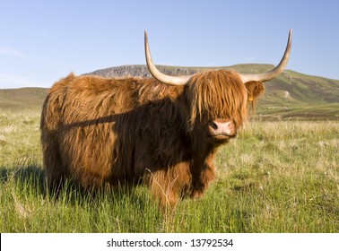 Scottish highland cow on the Isle of Skye