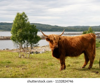 Scottish Highland cow on pasture by a lake