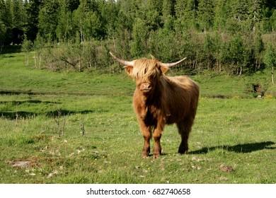 Scottish highland cow on pasture