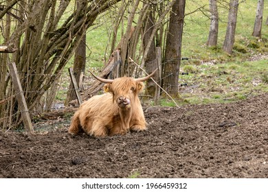 The Scottish highland cow shows her long tongue.