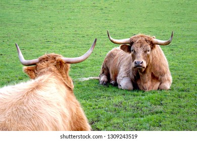 Scottish Highland cows on green pasture
