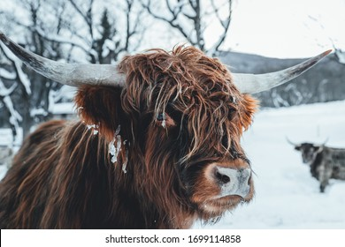 Scottish Highland cows in the winter