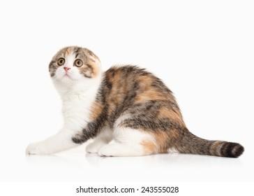 scottish highland kitten with white on white background