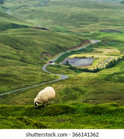 Scottish highland sheep eating grass on the edge of a hill with scenic road and valley in the background