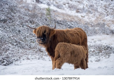Scottish highlander with calf