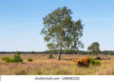 Scottish highlander cow and purple heather in bloom at Westerheide nature reserve, Hilversum, The Netheralnds