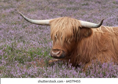 Scottish highlander cow in purple heather
