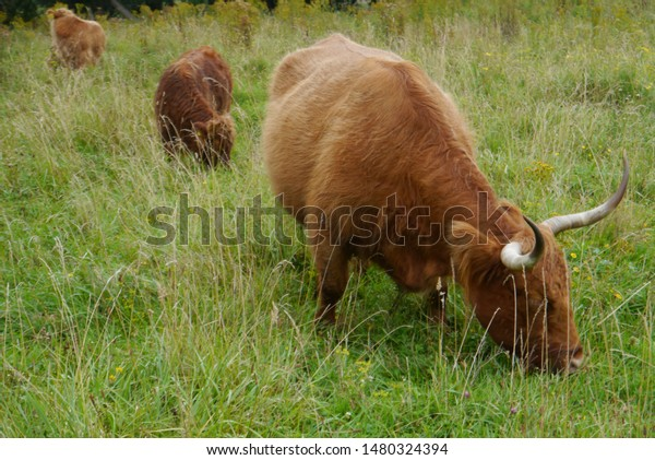Scottish highlander with her calves in the Netherlands