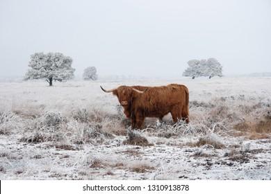 Scottish highlander in a natural winter landscape.