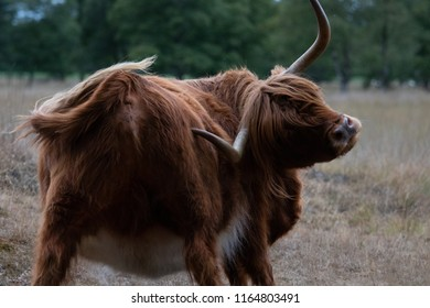 Scottish Highlander  playing
