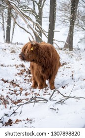 Scottish highlander in snow
