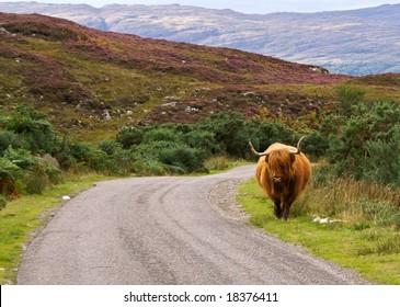 Scottish highlander walking free in the landscape