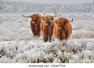 Scottish highlanders in a natural winter landscape.