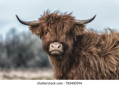 scottish highlands close up head