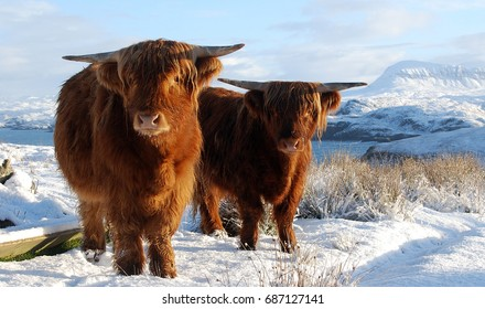 Scottish Highlands Cow on Snow, Winter Landscape, Highland Animal, Cattle, Nature of Scotland, United Kingdom