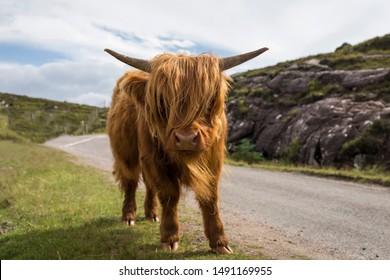 schottische Highlands-Landschaft mit Kalbkuh im schottischen Hochland, Vereinigtes Königreich