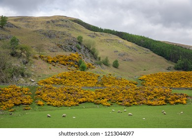 Scottish higlands with yellow gorse bush near Loch Tay and Ben Lawers