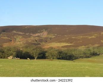 Scottish hills, trees and livestock