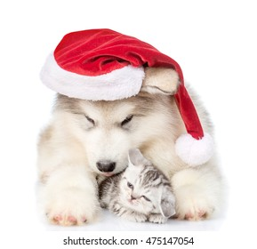 Scottish kitten and alaskan malamute puppy in red santa hat. isolated on white background