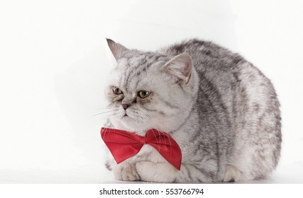 Scottish kitten with bow tie on a white background isolated