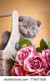 Scottish kitten. Cat at home. Scottish Fold Cat. Siting in box cat. Playful gray color Scottish fold cat portrait.