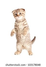 Scottish kitten fold standing isolated