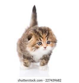 Scottish kitten in front. isolated on white background