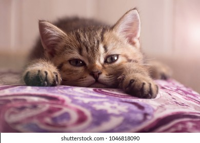 A Scottish kitten lies on a pillow. The kitten looks into the camera.