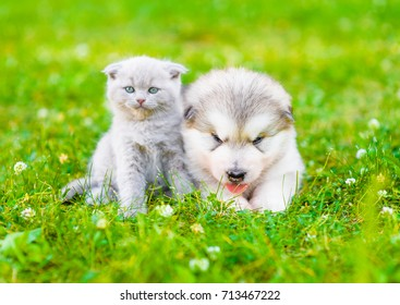 Scottish kitten and malamute puppy together on green grass