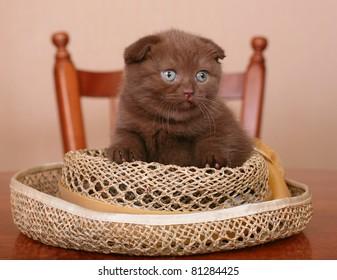 Scottish kitten on a table