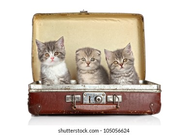 Scottish kitten (one month) in old suitcase on a white background