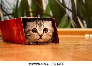 Scottish kitten peeking out of the box.