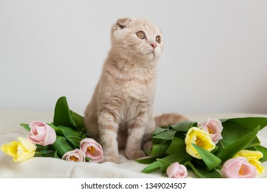 Scottish kitten portrait with tulips bouquet. Cat at home. Scottish Fold Cat. Cute Pet. Copy space. Banner, holidays, Mother's Day, Valentines Day and Happy birthday concept.