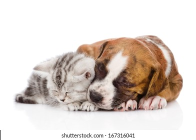 Scottish kitten and puppy sleeping together. isolated on white background