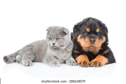 scottish kitten and rottweiler puppy lying together. Isolated on white background