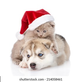 Scottish kitten and Siberian Husky puppy with santa hat. isolated on white background
