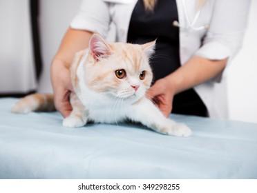 Scottish kitten in veterinary clinic, isolated on white