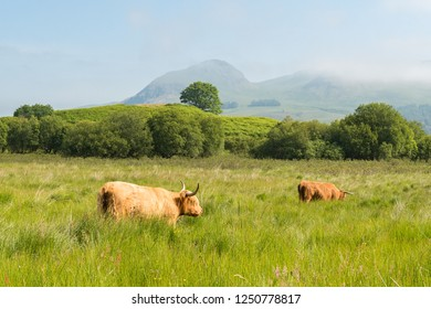 Scottish landscape - highland cattle grazing in Stirlingshire, Scotland, UK with the peak of Dumgoyne part of the Campsie Fells in central Scotland behind