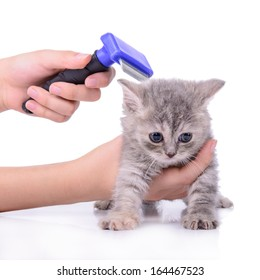 Scottish little kitten grooming comb. isolated on white background