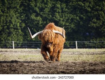 Scottish Longhorn bull walking towards you like an animal out of Star Wars.