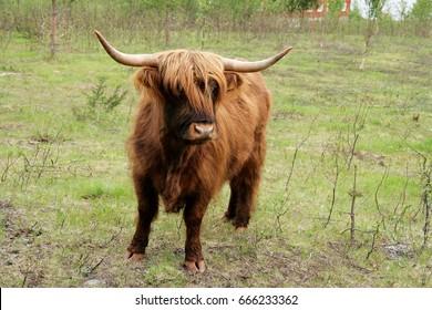 Scottish longhorn cow on pasture
