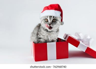 Scottish lop-eared cat in a box in a Santa Claus hat