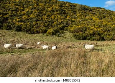 Scottish Mountain Blackface highland sheep, (Ewes)